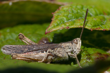 Field grasshopper by Ian French