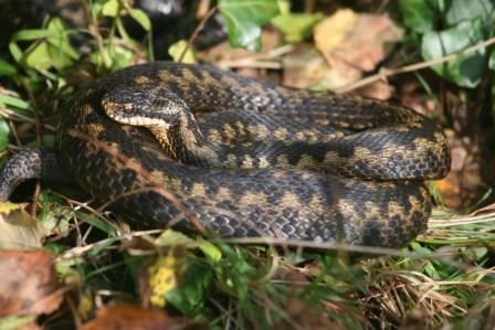 Adder by Terry Dunstan