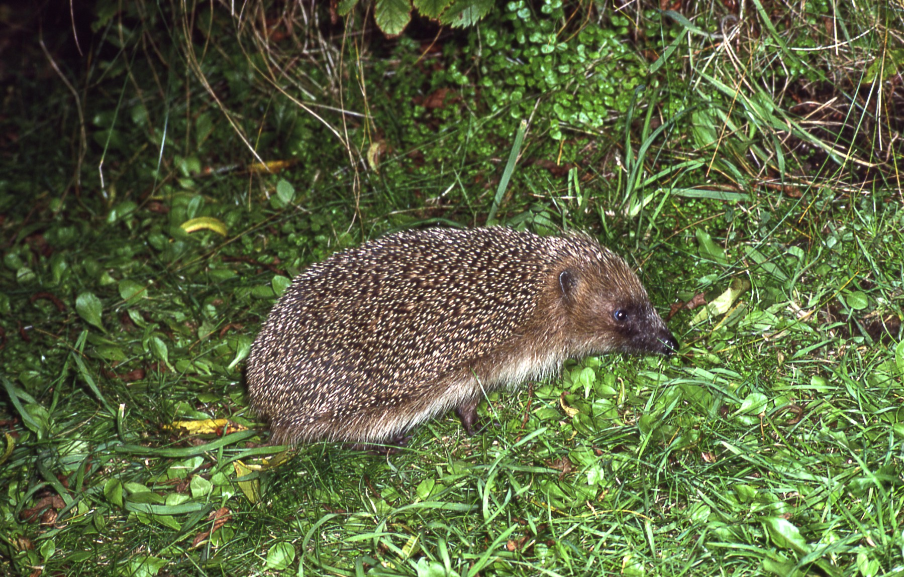 Photo of Hedgehog by JB and S Bottomley