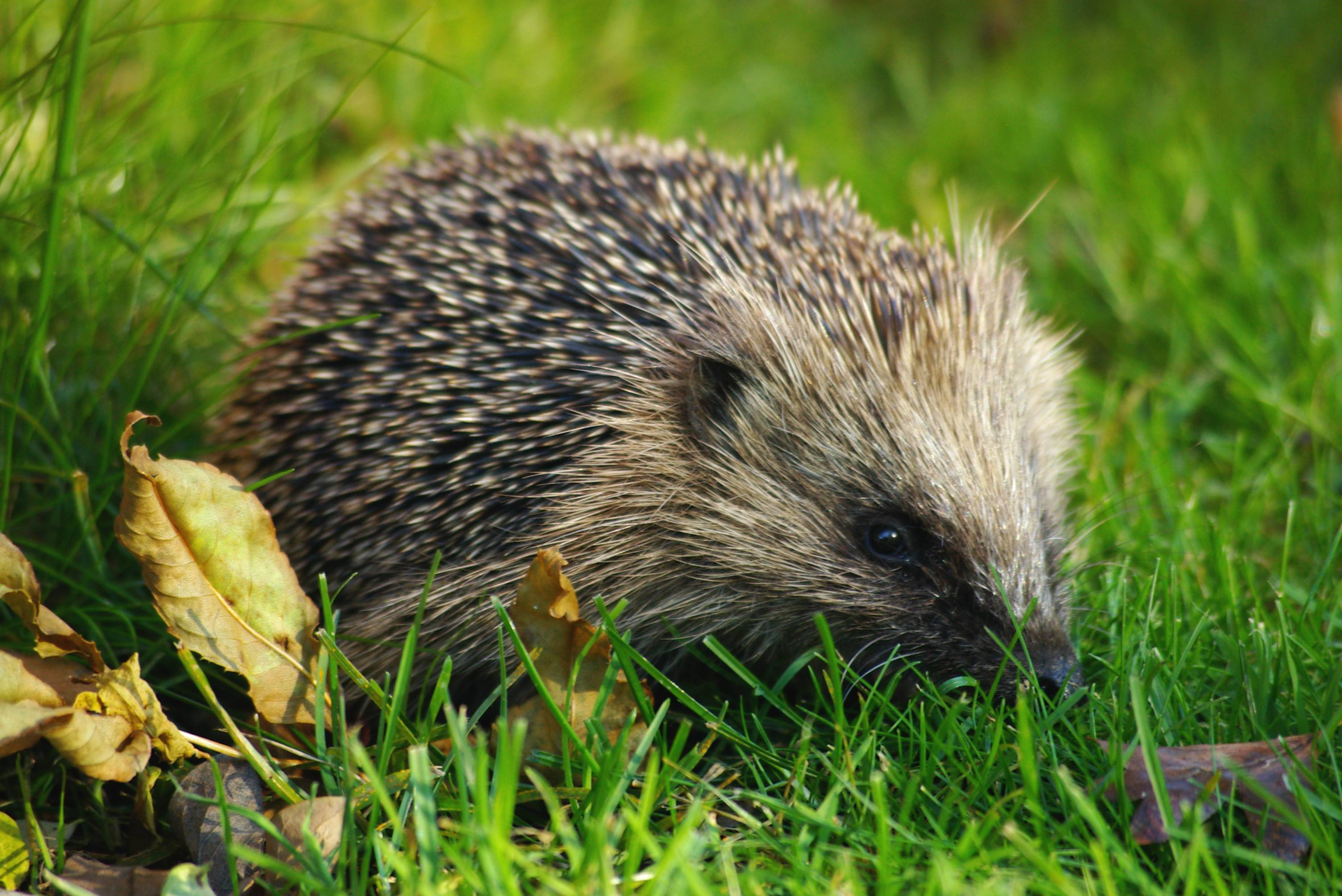 Hedgehog Photo by Gillian Day