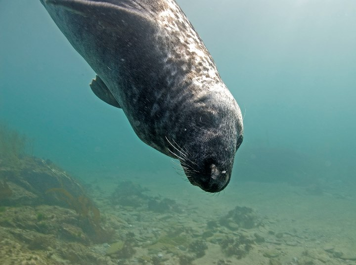 Grey Seal by Paul Naylor