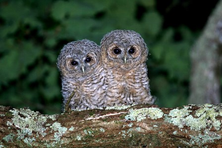 Tawny Owlets by Terry Dunstan