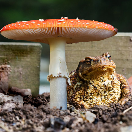 toad under fly agaric by Ian French