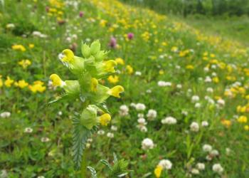 Yellow rattle in field by Lee Schofield