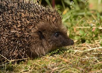 Hedgehog by David Lidstone