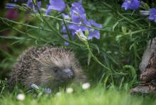 Hedgehog in bluebells by Dave Hudson