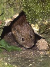 Bank vole by J.B Bottomley