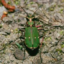 Green Tiger Beetle by AT
