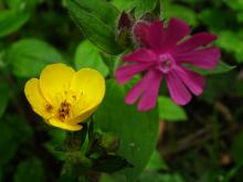 Buttercup and Red Campion